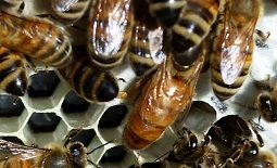 A group of worker bees and a queen on comb.